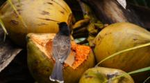 Red-Vented Bulbul Eating Coconut.
