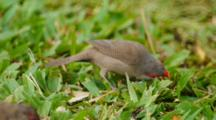 Common Waxbill Eating Grass Stems