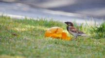 House Sparrow Eats Fruit (Mango) With Red-Vented Bulbul