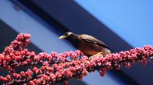 Common Myna Drinking Nectar From Octopus Tree Flowers