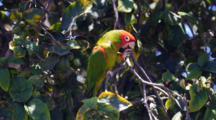 Red-Masked Parakeet (Wild) (Aratinga Erythrogenys) Feeding