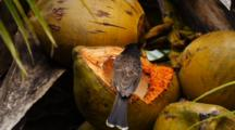 Red-Vented Bulbul, Pycnonotes Cafer, Eats Coconut