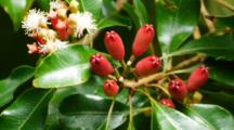 Clove Fruit And Flowers, Syzygium Aromaticum