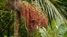 Rainforest Bird Eats Palm Fruit