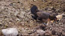 Jungle Fowl Hen And Chicks