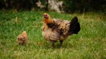 Jungle Fowl Hen With Chicks Climbing On Her Back