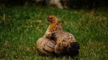 Jungle Fowl Hen Brooding Chicks