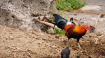 Jungle Fowl Rooster With Hens