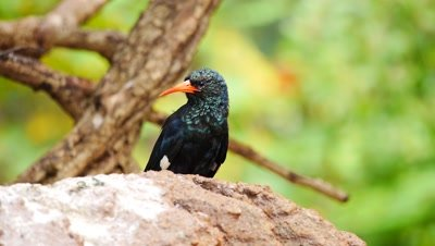 Green Wood hoopoe (Phoeniculus purpureus) African bird
