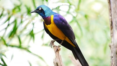 Gold-breasted starling ((Lamprotornis regius) African bird