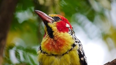 Red and Yellow Barbet (Trachyphonus erythrocephalus) African bird