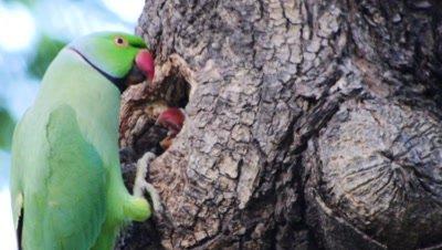 rose-ringed parakeet exits nest cavity, baby