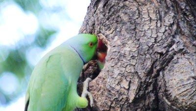 rose-ringed parakeet feeds baby at nest cavity