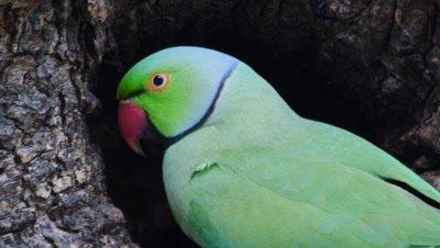 rose-ringed parakeet feeds nestlings at nest cavity