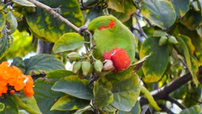 Red-masked parakeet (wild) feeding