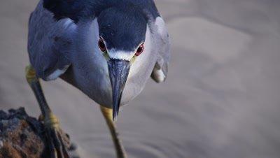 Black-crowned night heron (Nycticorax nycticorax)