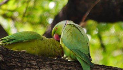 rose-ringed parakeet exits nest cavity
