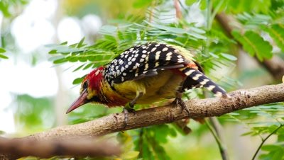Red and Yellow barbet bird (Trachyphonus erythrocephalus) turns,hops and perches,african bird