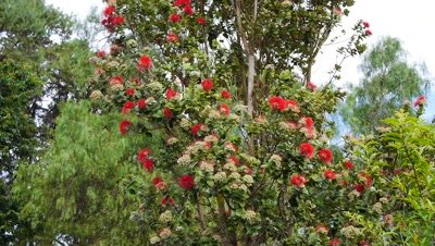 Honeybees (Apis melifera) feed on Ohia Lehua (Meterosideros polymorpha) flowers Hawaii