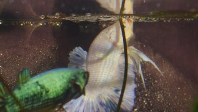 Giant Betta fish spawning embrace