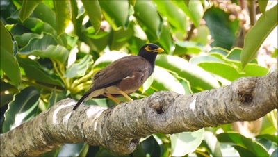 Common mynah,myna,bird