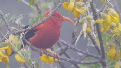 I'iwi,Drepanis coccinea,Hawaiian Honeycreeper
