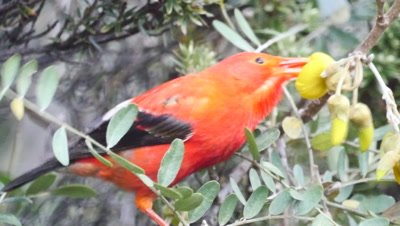 Hawaiian Honeycreeper feeds on flowers