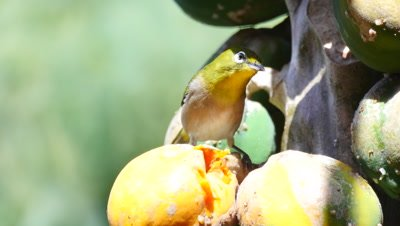 japanese white-eye bird eats papaya