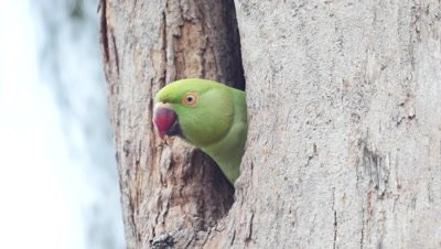rose-ringed parakeet, nest, baby, parents