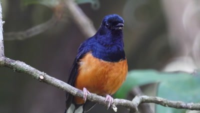 Singing robin shama bird