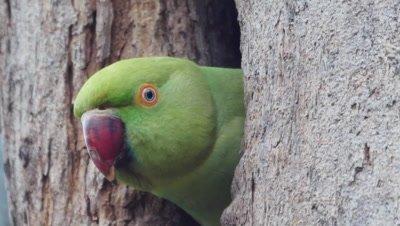 rose-ringed parakeet, nest, baby, parents