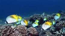 School Of Threadfin Butterflyfish Feed On Coral Polyps