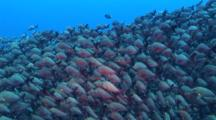 School Of Thousands Of Paddle-Tail Red Snappers Gathering At The Mating Season