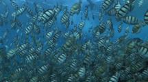 Sharks Hunt Among Spawning Convict Surgeonfish, Blue Water Becomes Cloudy