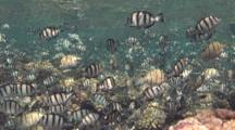 School Of Convict Surgeonfish Gather On Reef Before Spawning