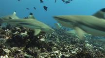 Black Tip Reef Sharks, Frenzy