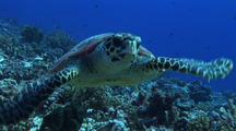 Hawksbill Turtle Toward The Camera