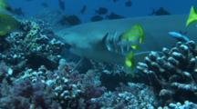 Lemon Shark Finding A Tuna Head For Food