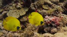 Pair Of Masked Butterflyfish Swim Over Shallow Coral Reef