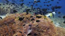 Diver Photographs Large Colony Of Magnificent Anemones, Damselfish And Clownfish