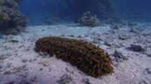 Prickly Red Sea Cucumber On Sandy Bottom