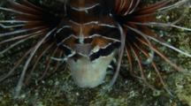 Clearfin Lionfish Feeding At Night, 2 Kills