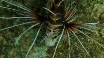 Clearfin Lionfish Feeding At Night