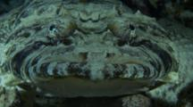 Crocodile Fish Moves Its Head