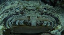 Crocodile Fish Moves Eyes