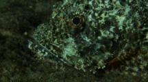Scorpionfish Turns And Walks Away