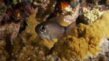 Black-Ring Cardinal Fish