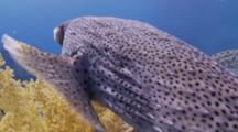Porcupinefish With Blinded Eye Over Sandy Coral Garden