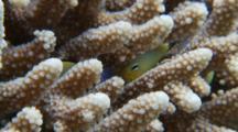 Arabian Damsel Fish Hiding In Acropora Coral