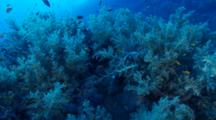 Dense Soft Corals With Anthias And Damselfish